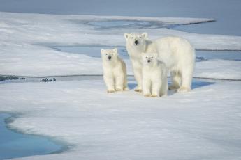 обоя животные, медведи, снег, семья, белый