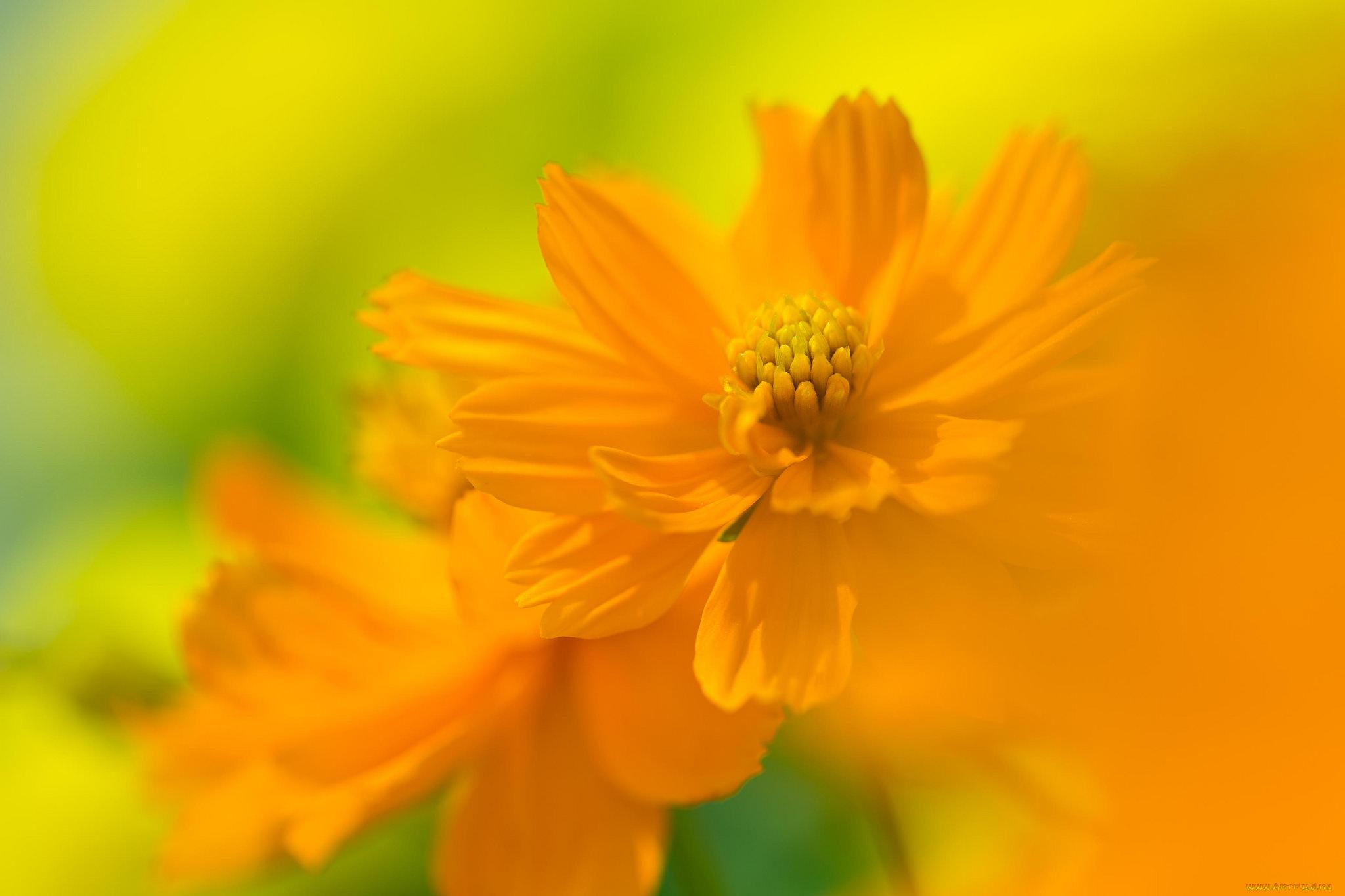 Желтый распустившийся цветок  № 731641 загрузить