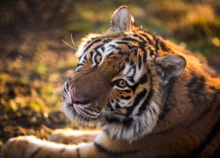 обоя животные, тигры, хищник, животное, тигр, голова