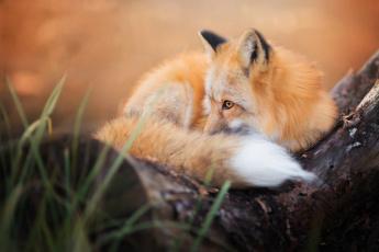 обоя животные, лисы, пушистый, лиса, осень, хвост, лис