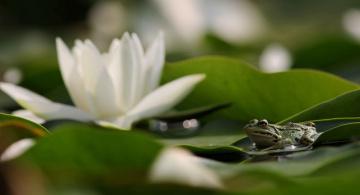 обоя животные, лягушки, лягушка, цветы, водяные, лилии, вода, листья