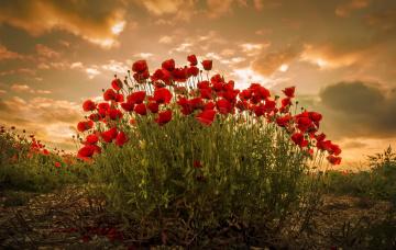 обоя цветы, маки, природа, закат