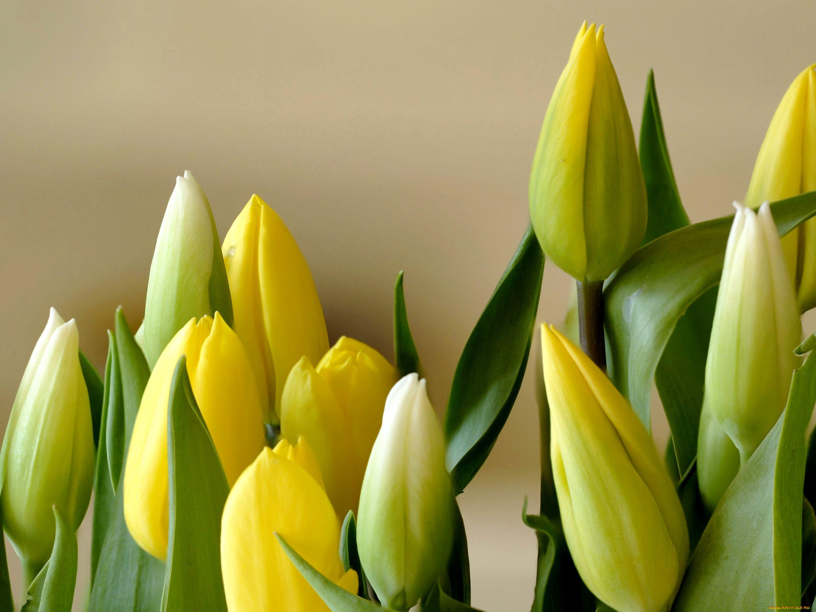 Тюльпаны желтые картинки красивые