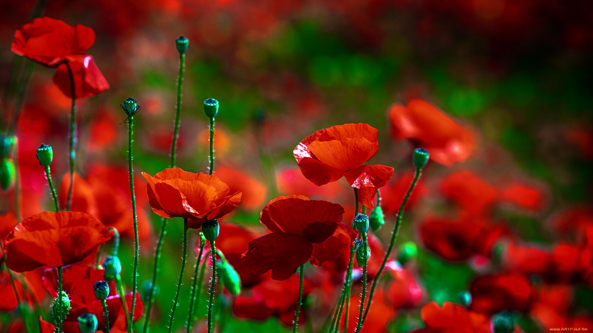 природа цветы красный без смс