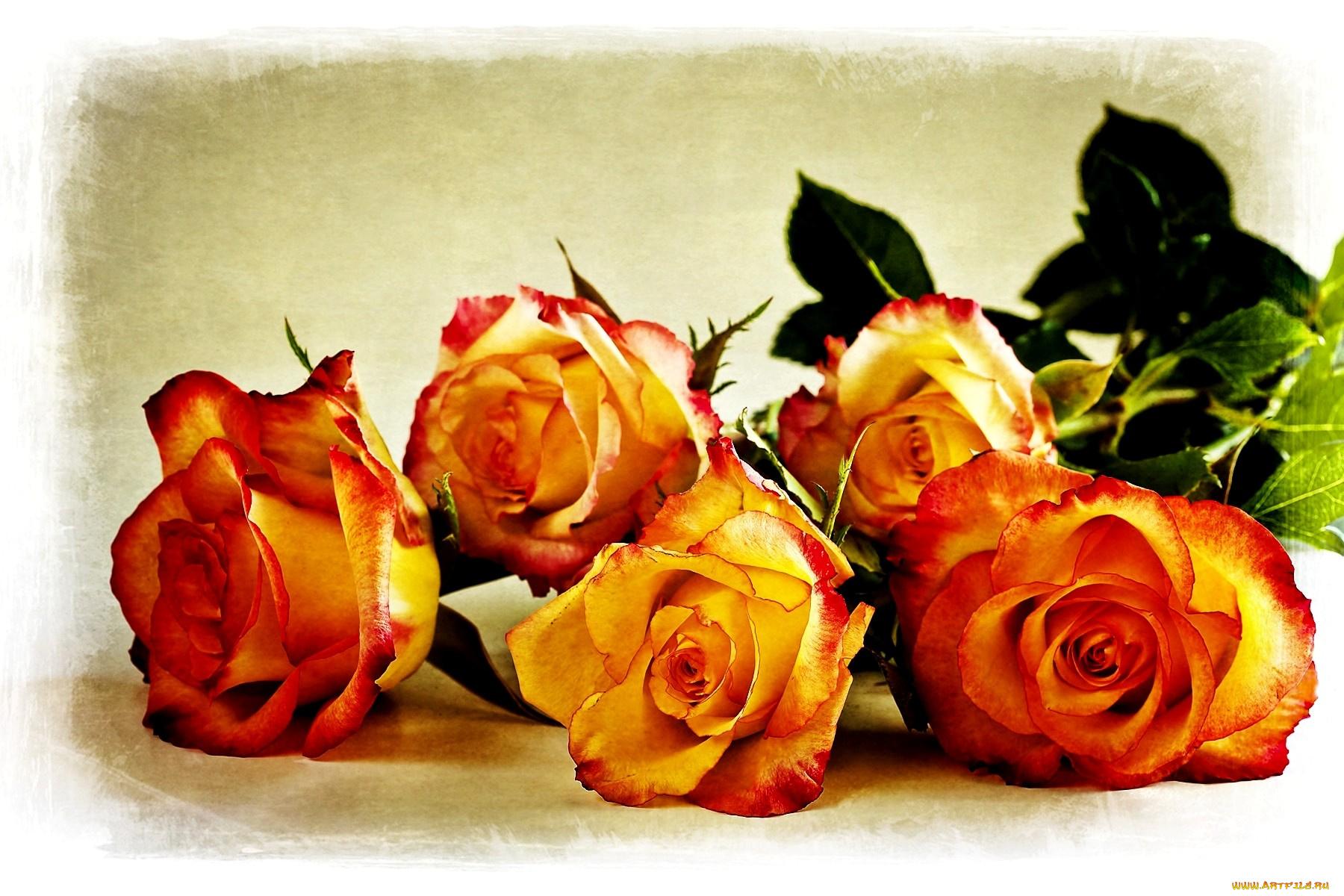 Картинка с др розы, морем