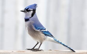 Картинка животные сойки хохолок оперение птичка