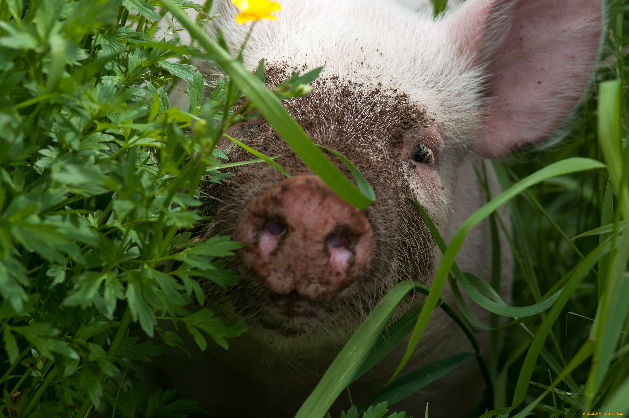 гигиеничен картинки поросята едят траву нужно