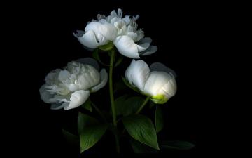 обоя цветы, пионы, тень, свет, лепестки, пион, бутон