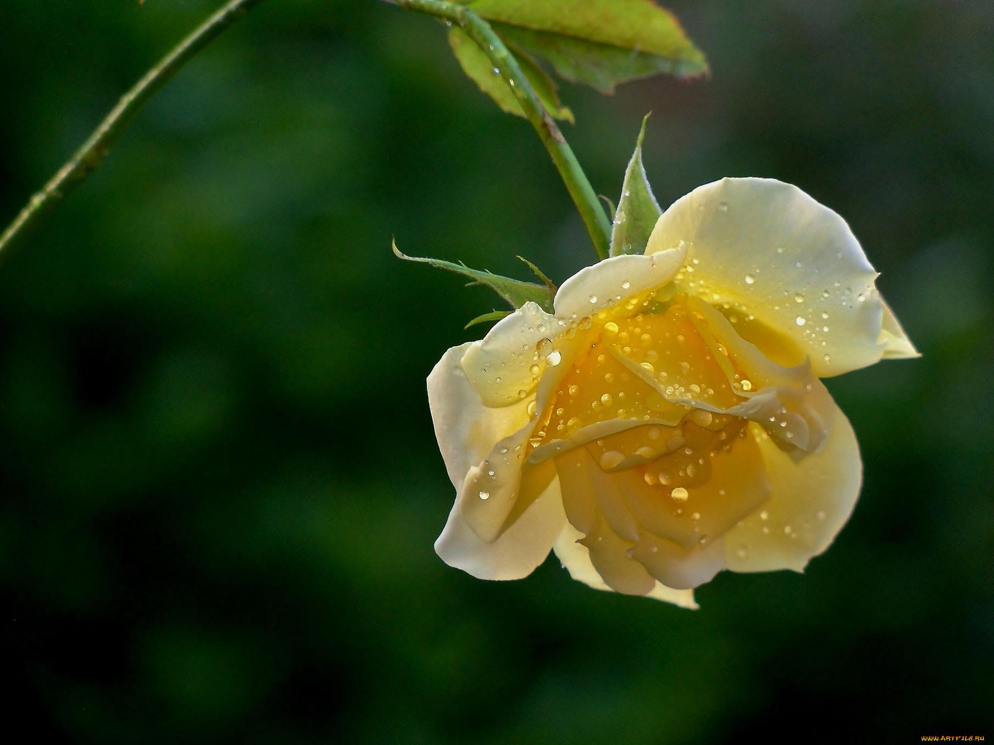 Желтые цветки с каплей загрузить