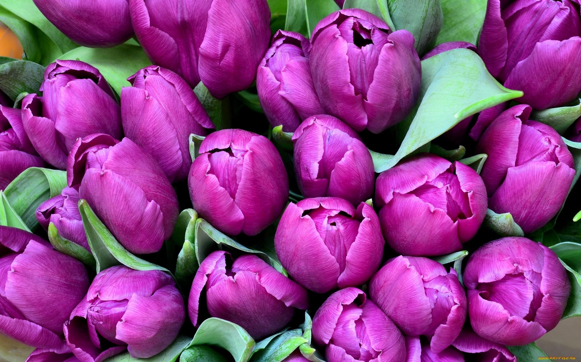 Фиолетовые тюльпаны в саду  № 1325971 загрузить