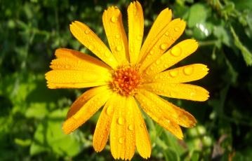 Картинка цветы календула лепестки капли