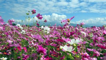 Картинка цветы космея лето поле много