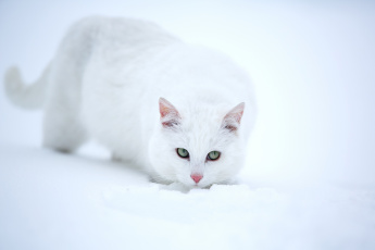 Картинка животные коты снег белая кошка взгляд