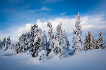 Картинка природа зима снег ели