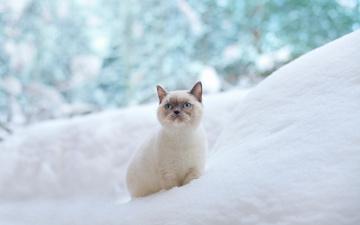 Картинка животные коты кошка голубые глаза зима сугроб снег