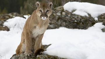 Картинка животные пумы пума горный лев снег