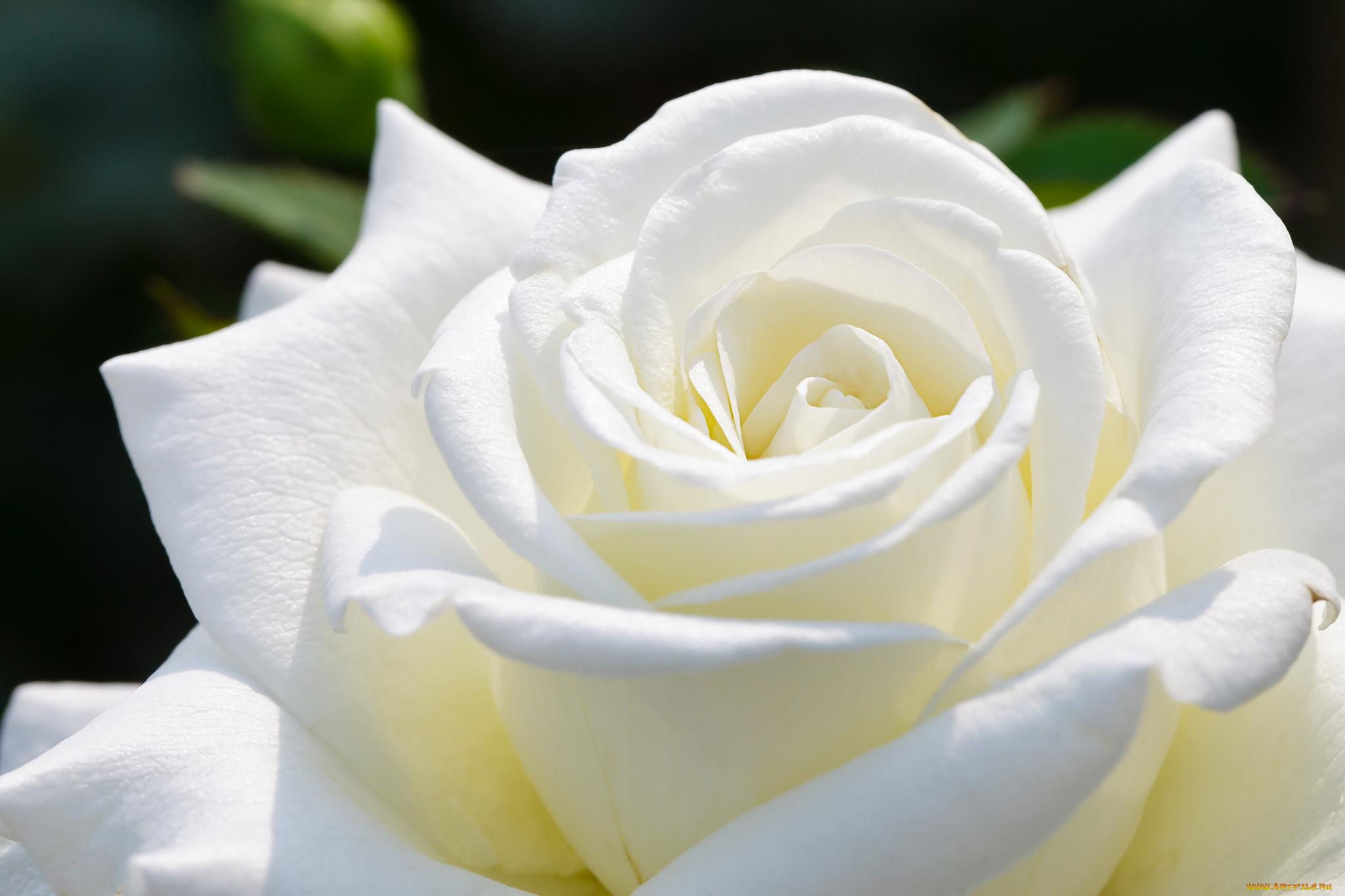 Белая роза картинки красивые
