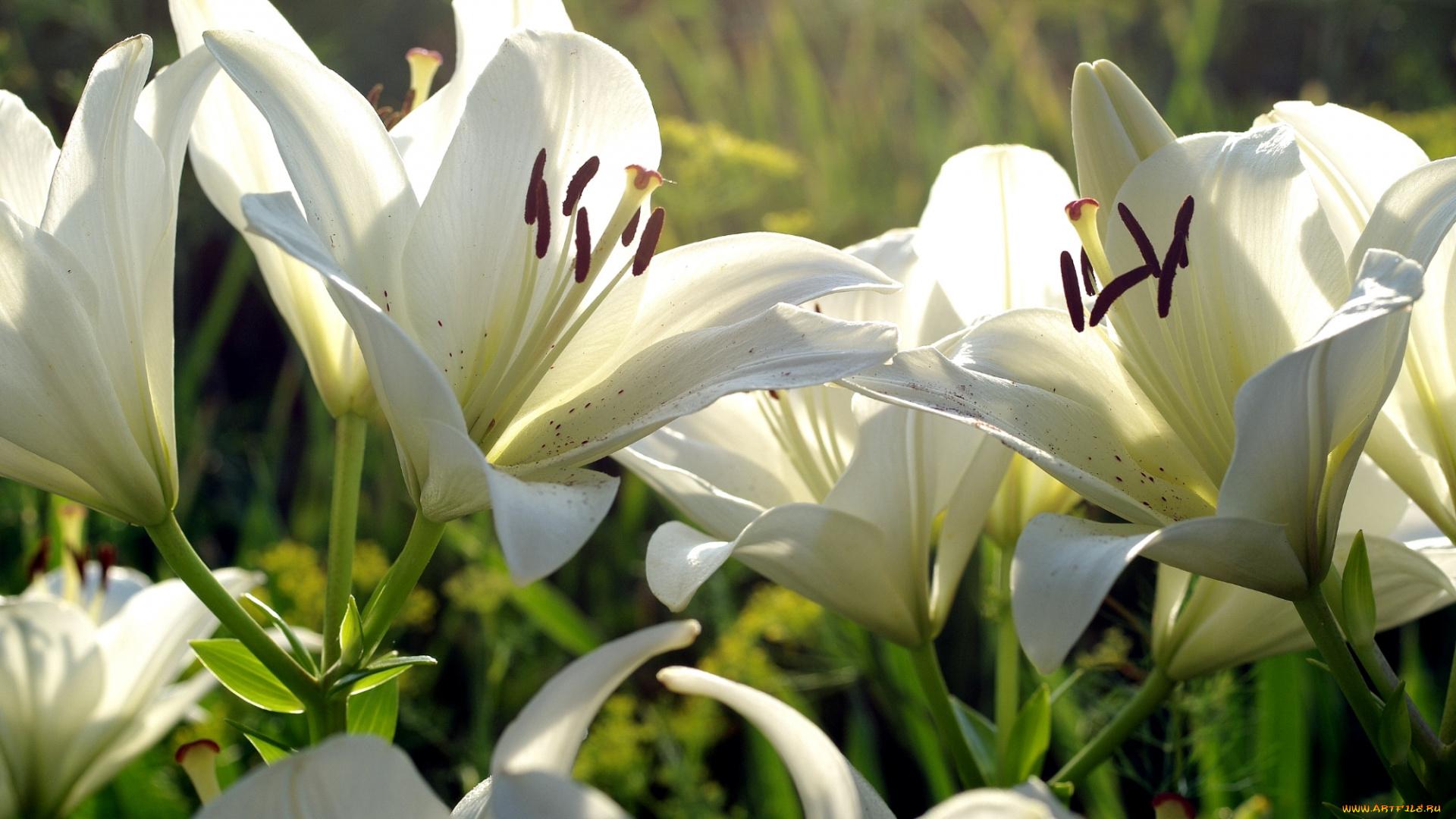 Картинки с добрым утром цветы лилии, прикольные про