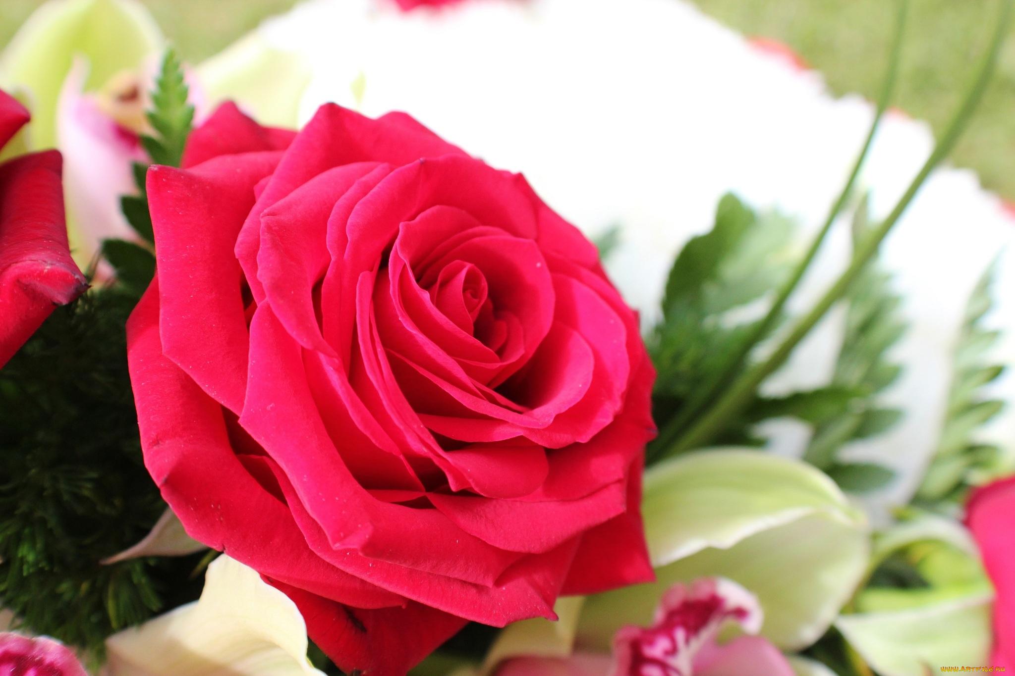 роза цветок без смс