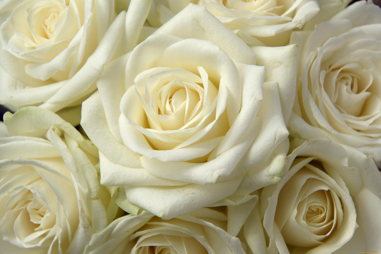 Картинки цветы розы белые и бежевые, картинки бахил