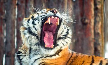 Зевание тигра загрузить