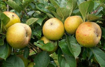 Картинка природа плоды яблоки