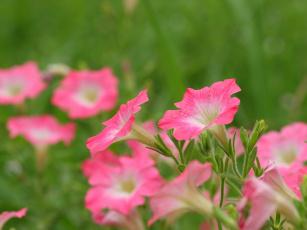 Картинка цветы петунии калибрахоа