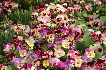 Картинка цветы анютины+глазки+ садовые+фиалки красота