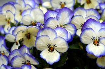 Картинка цветы анютины глазки садовые фиалки пестрый