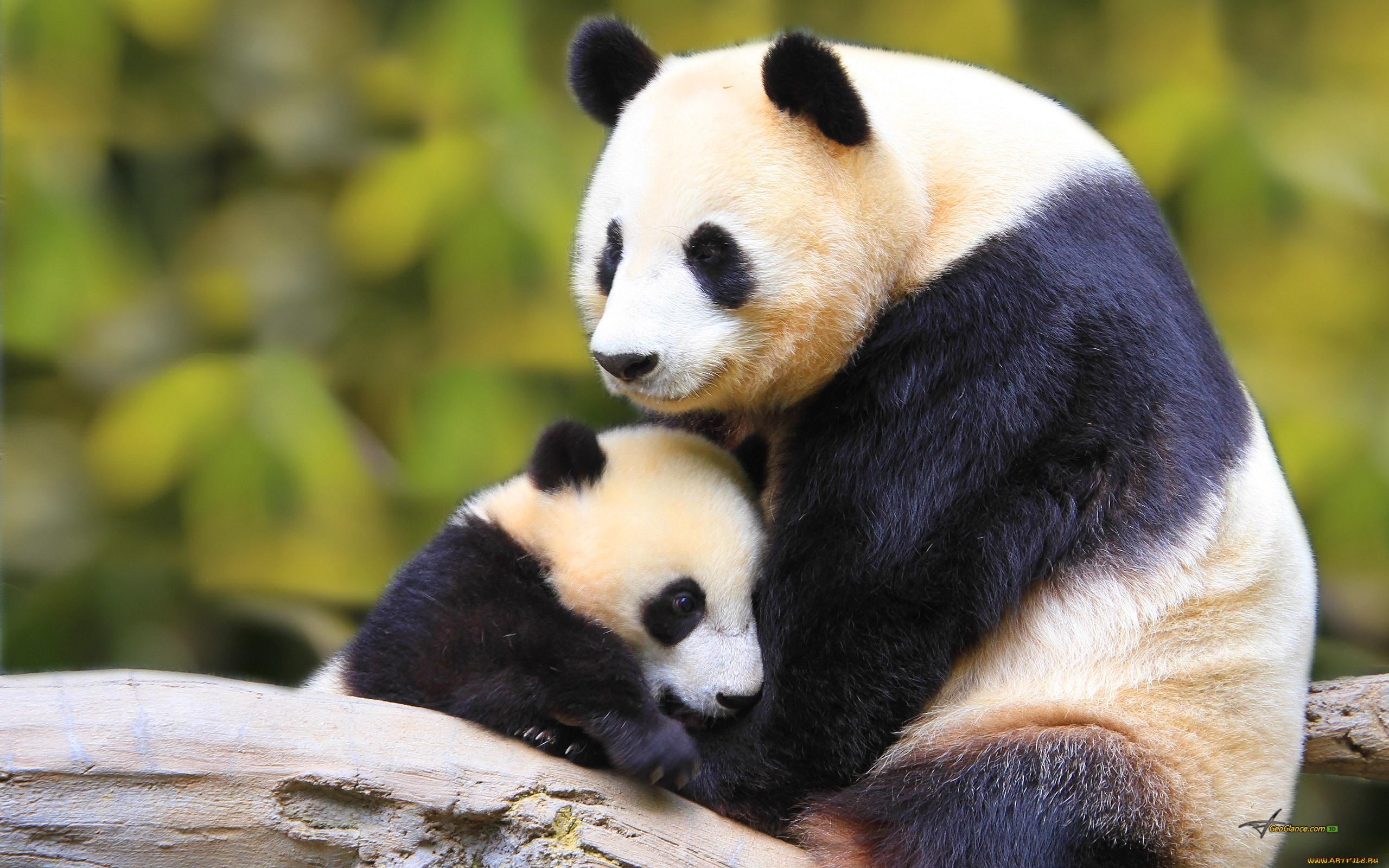 миленькие панды  № 3356342 без смс