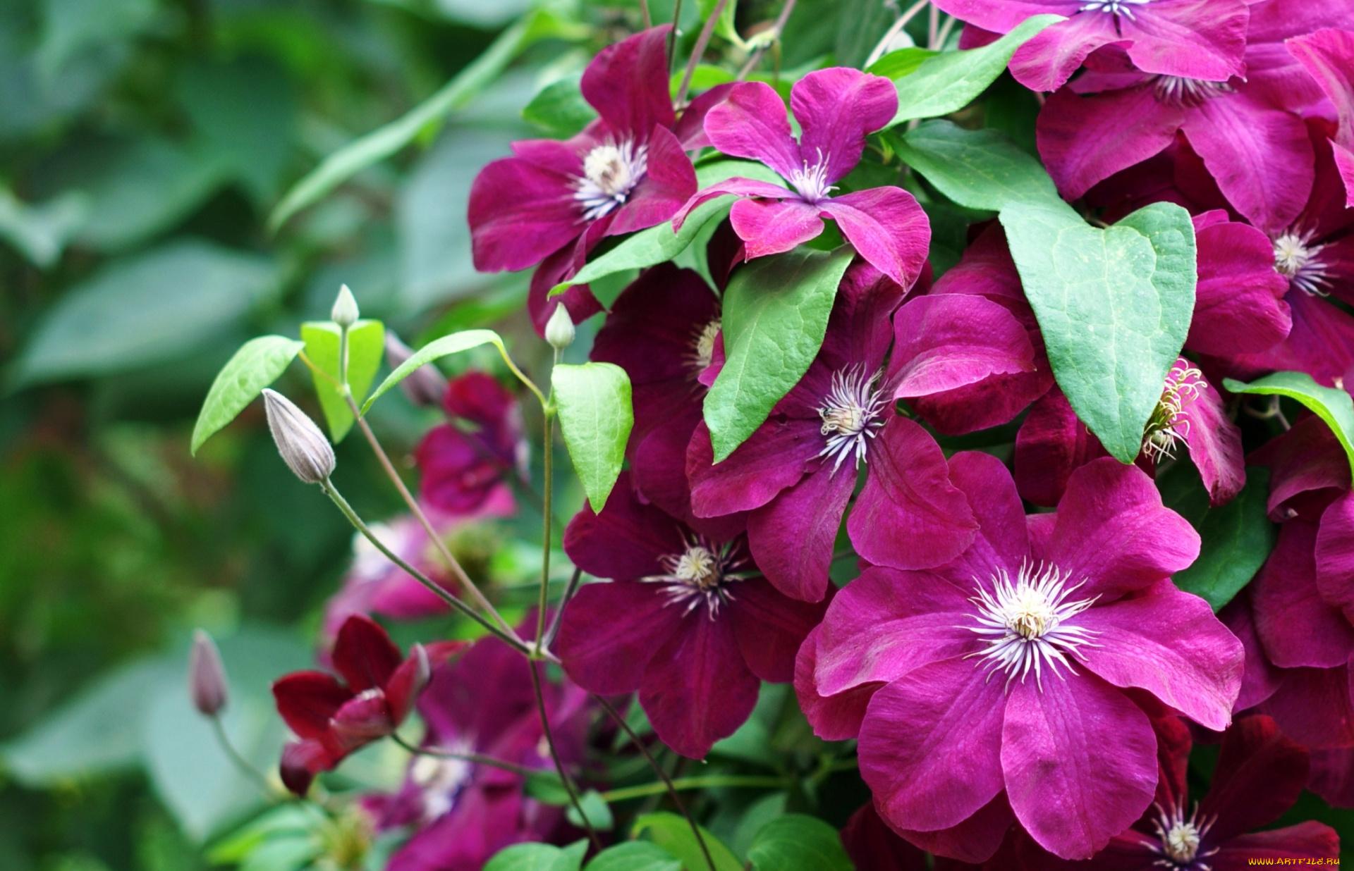Фотографии цветка клематис