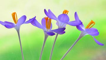Картинка цветы крокусы растение стебель лепестки крокус