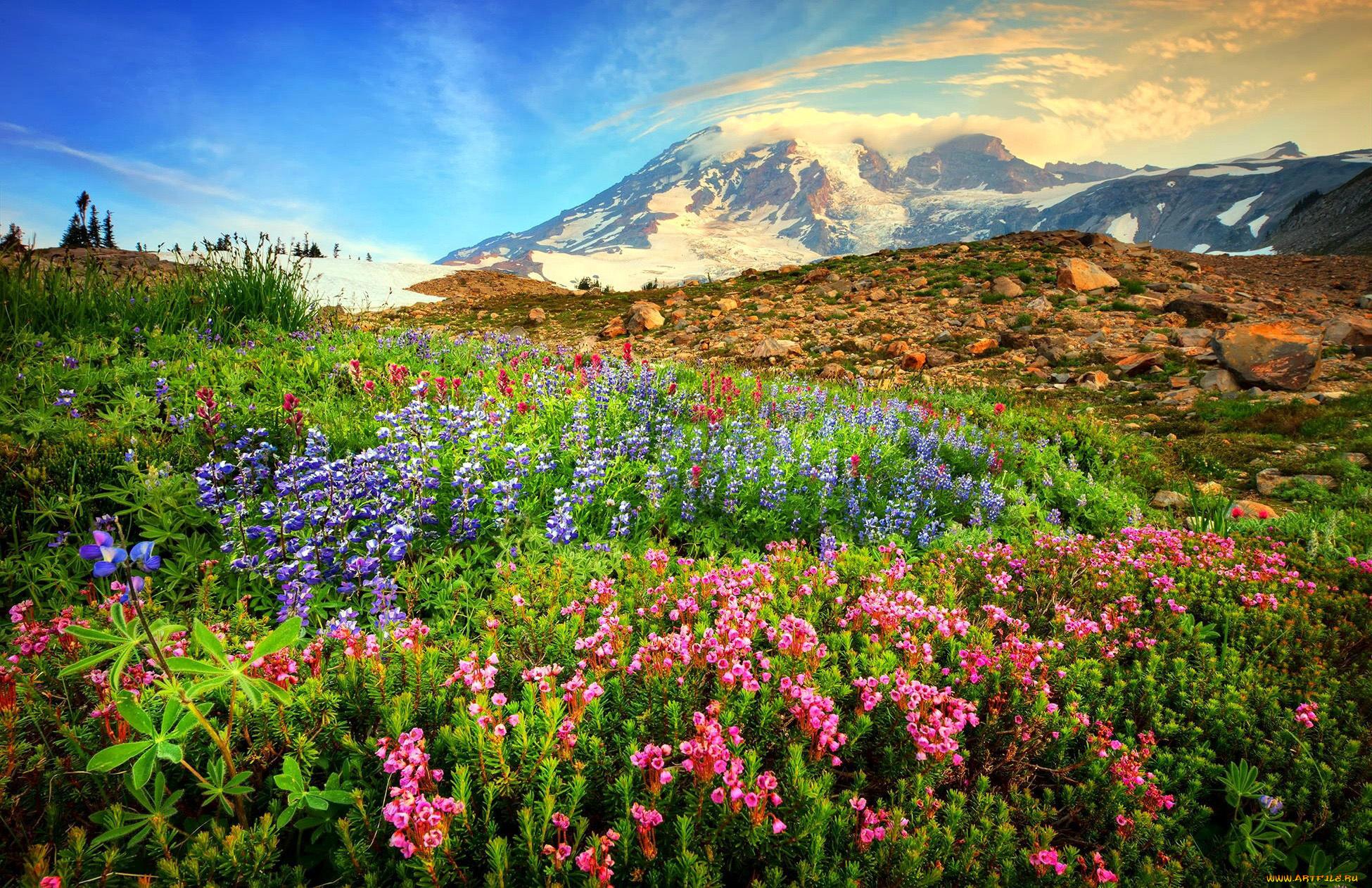горы, ели, цветочная поляна  № 3586988 бесплатно