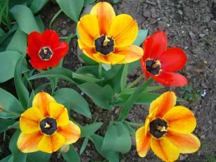 Картинка цветы тюльпаны желтый красный