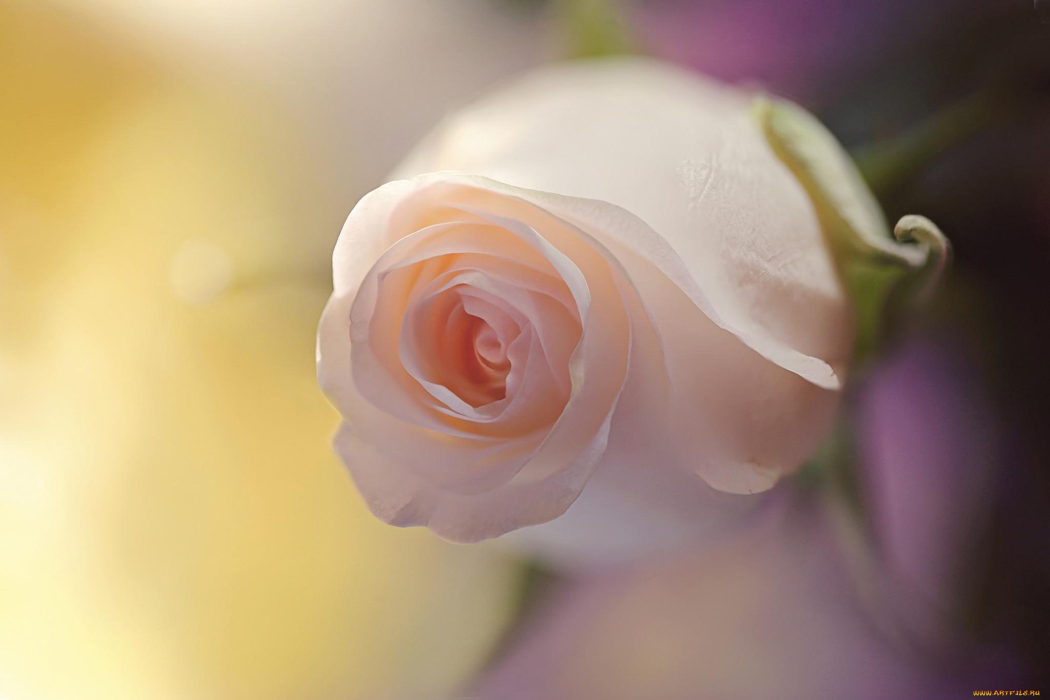 нежная роза бесплатно