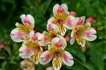 обоя цветы, альстромерия, альстамерия, цветок, цветение