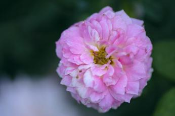 Картинка цветы розы blossoms leaves petals bud rose цветение листья лепестки бутон роза