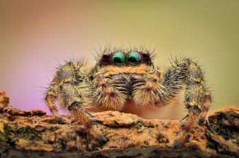 обоя животные, пауки, фон, глаза, паук, макро