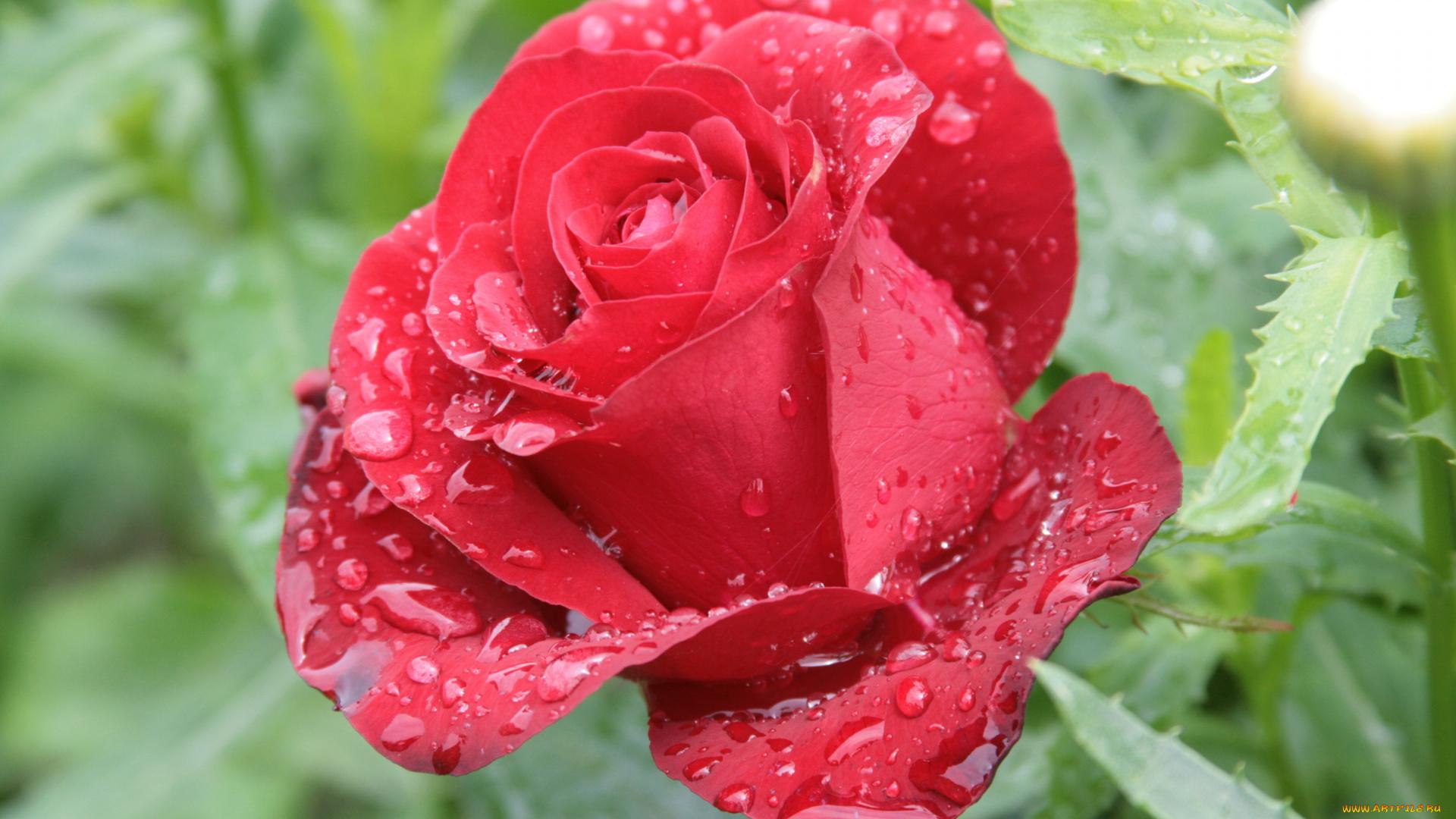 Открытки цветы с росой