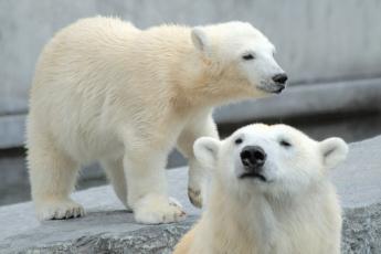 Картинка животные медведи белые