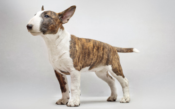 Картинка животные собаки бультерьер