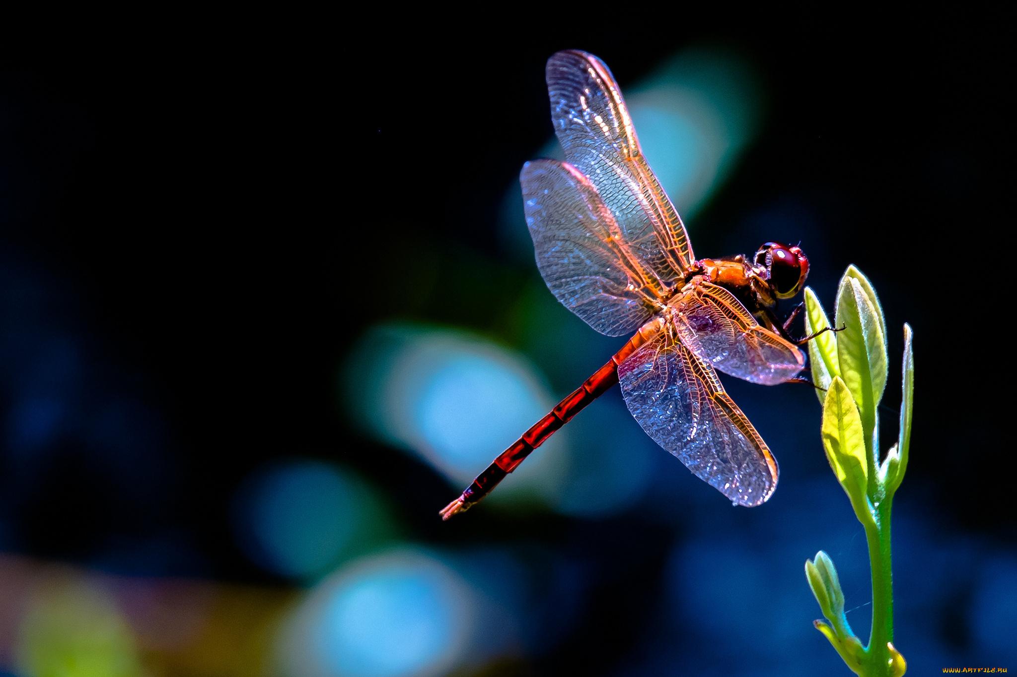 природа макро животные насекомое стрекоза  № 2748046 без смс