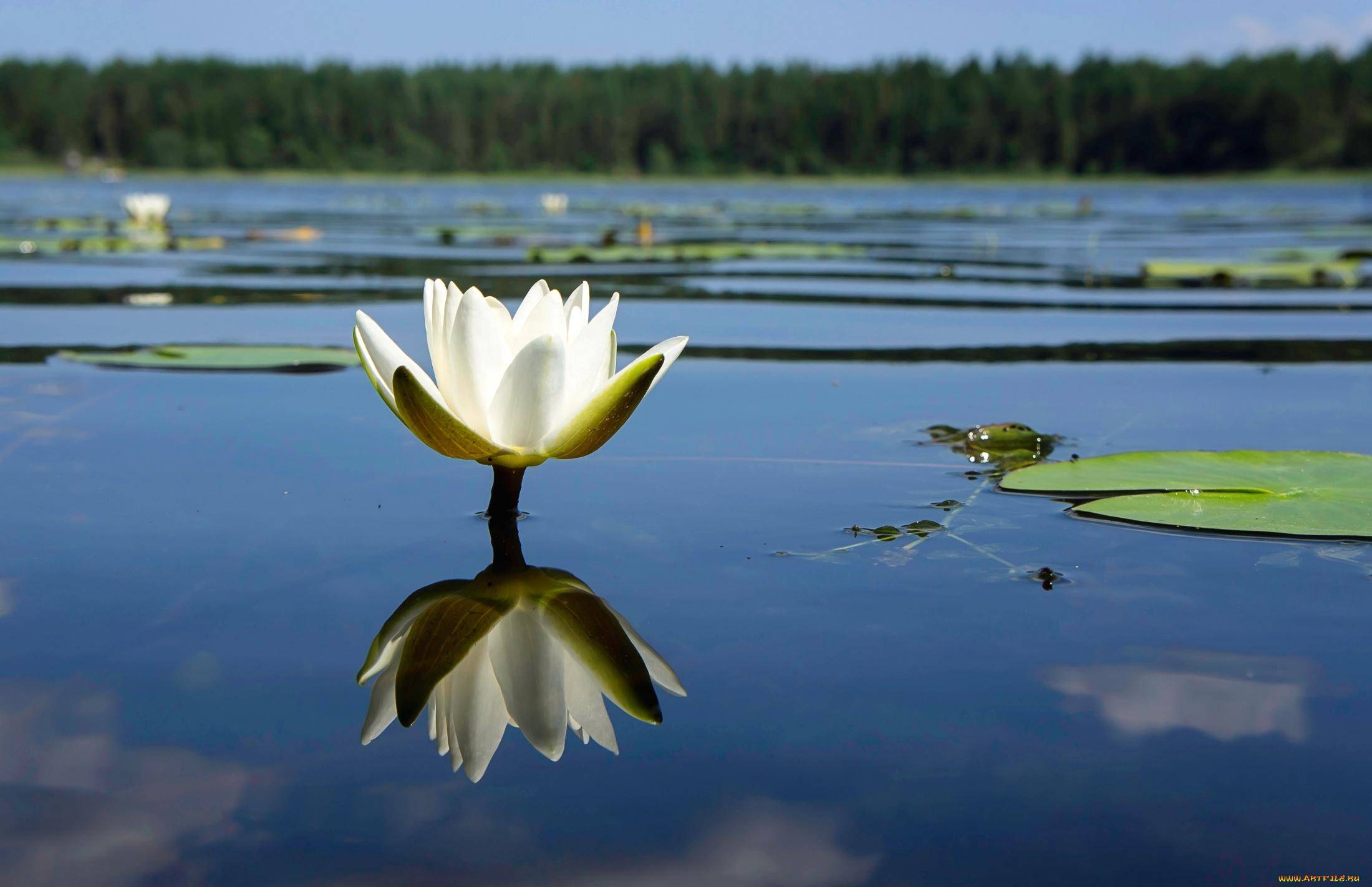 лилии озеро отражение  № 3274766 без смс