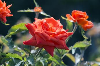 Картинка цветы розы куст