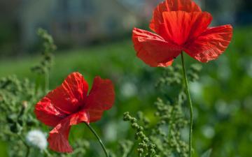 обоя цветы, маки, red