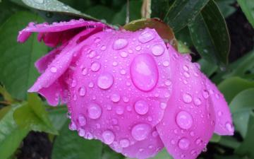 обоя цветы, пионы, дождик, май, цветок, пион, капли
