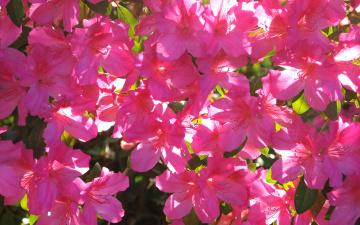 обоя цветы, рододендроны , азалии, весна, обои, лепестки, сад