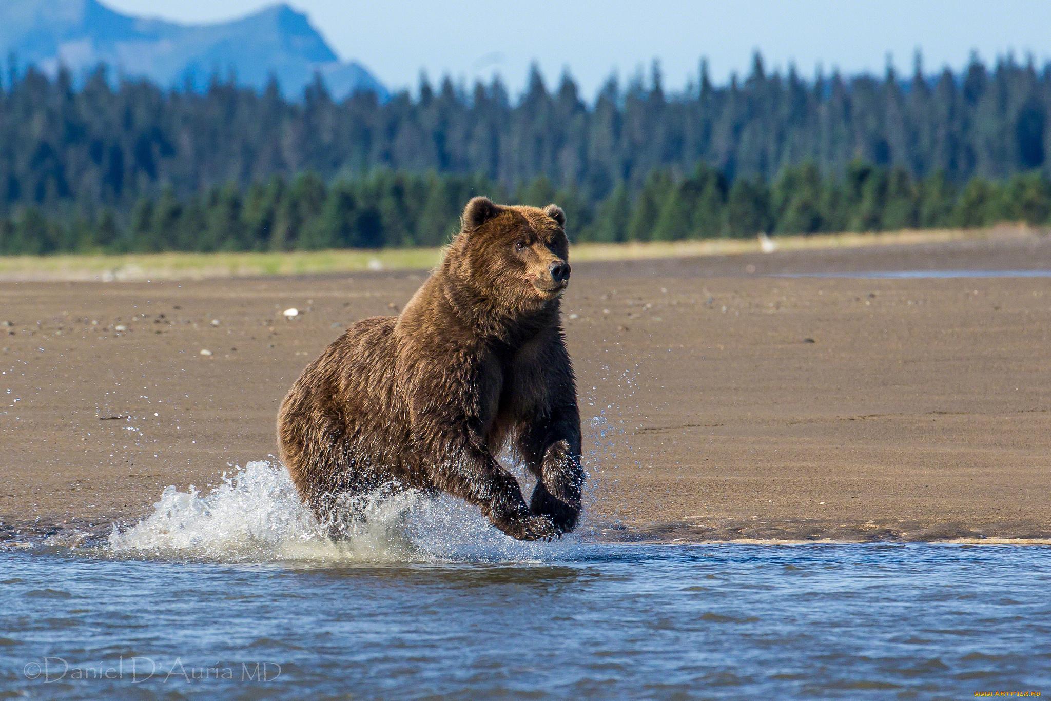 Alaskan Brown Bear Silhouetted Against Mount Katolinat, Alaska загрузить