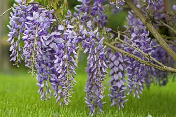Картинка цветы глициния цветение
