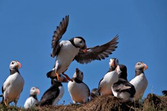 обоя животные, тупики, птица, цветы, puffin, профиль, блики, тупик, атлантический